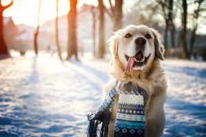 Young golden retriever sitting at the snow on sunny winter day
